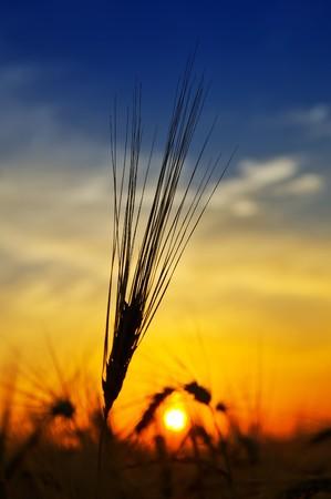 oro puesta de sol sobre el campo de la cosecha