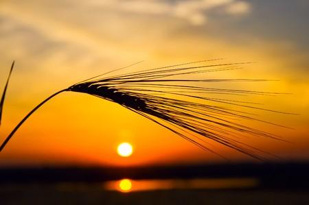 puesta de sol dorado con la reflexi�n en el agua y trigo