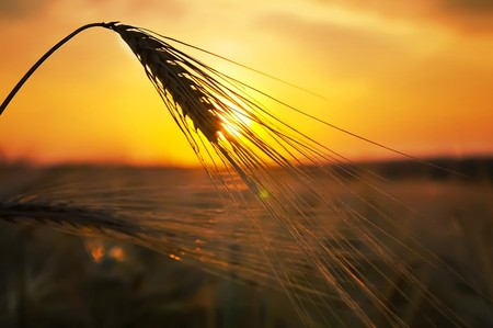 ears of ripe wheat on a background a sun in the evening Stock Photo - 8124837