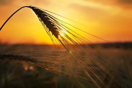 espigas de trigo maduro sobre un fondo al sol en la noche