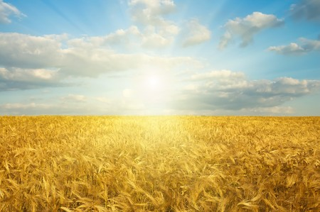 field with gold ears of wheat in sunset Stock Photo - 8124847
