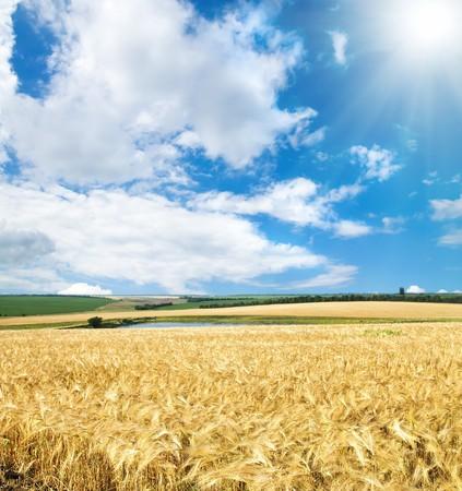 cultivo de trigo: campo de trigo de cereales bajo cielo soleado