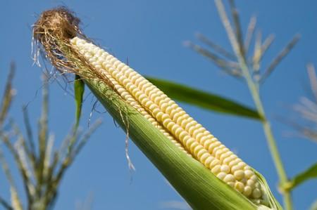 fresh raw corn on the cob with husk Stock Photo - 8124853