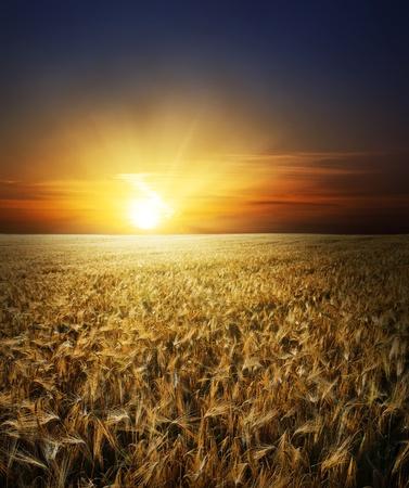 espiga de trigo: campo con oro espigas de trigo en la puesta de sol