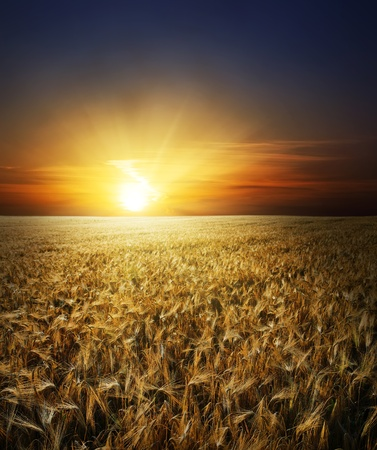 field with gold ears of wheat in sunset Stock Photo - 8357714