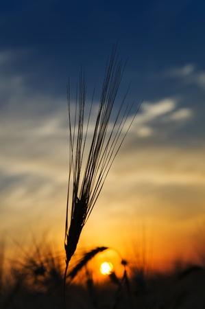 espigas de trigo maduro sobre un fondo al sol en la noche Foto de archivo