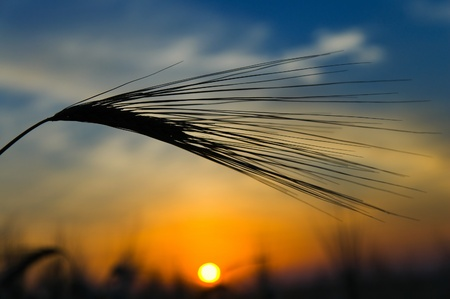 ears of ripe wheat on a background a sun in the evening Stock Photo - 8473732