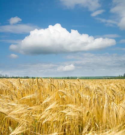 gold ears of wheat under sky photo