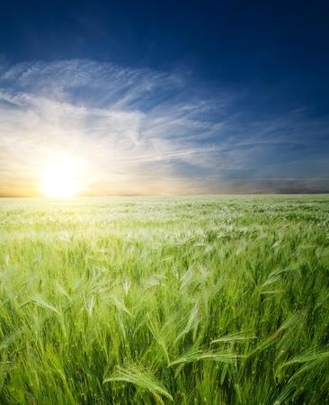 green wheat in field under sunrays Stock Photo - 8473751
