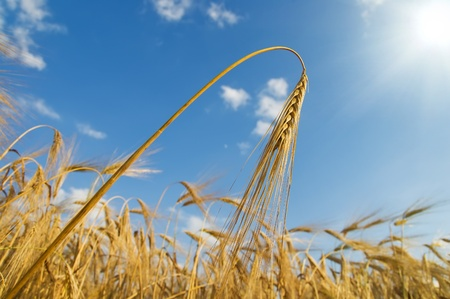 gold ears of wheat with sun photo