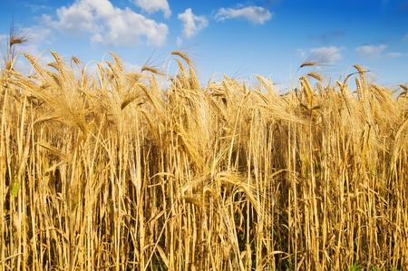 field with gold ears of wheat photo