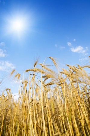 field with gold ears of wheat with sun photo