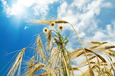 field with gold ears of wheat with sun and flowers Stock Photo - 8473743