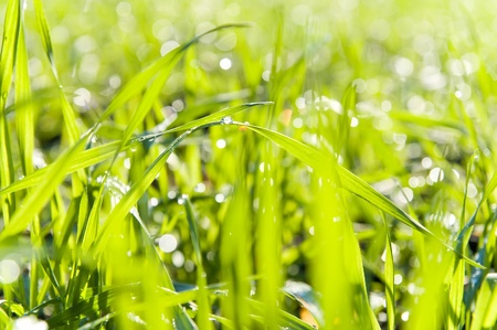 fresh grass with dew drops photo