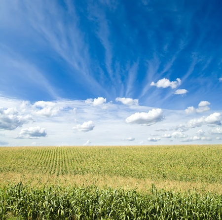 Groene maïs veld onder de blauwe hemel en wolken Stockfoto