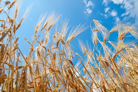 field of wheat under sky Stock Photo - 8764508