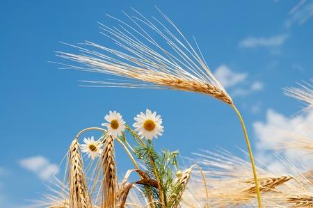 chamomile on field of wheat Stock Photo - 8764501