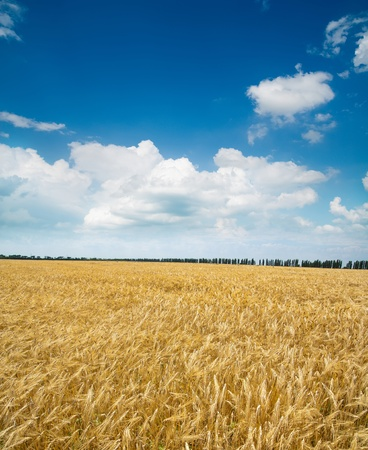 field of wheat under blue sky Stock Photo - 8764522