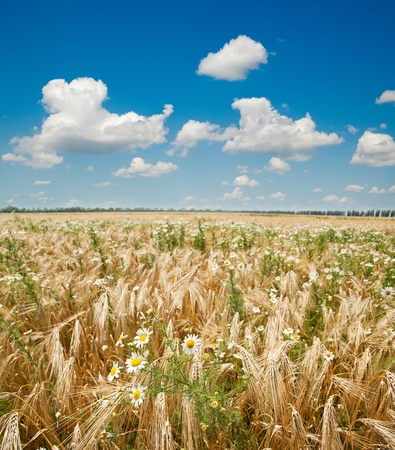 field with gold ears of wheat with sun and flowers photo