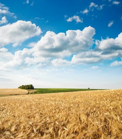 champ de mais: champ de bl� sous un ciel nuageux Banque d'images