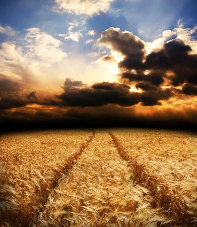 road in field with gold ears of wheat under dramatic sky photo