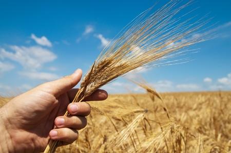 goud oogst in de hand