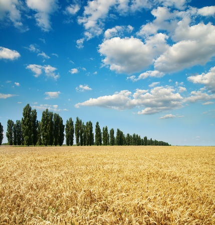 gold ears of wheat with trees under sky photo