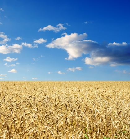 gold ears of wheat under sky. soft focus on field Stock Photo - 8949173