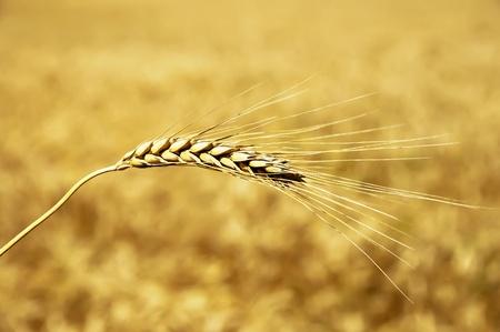 golden wheat ear. south Ukraine photo