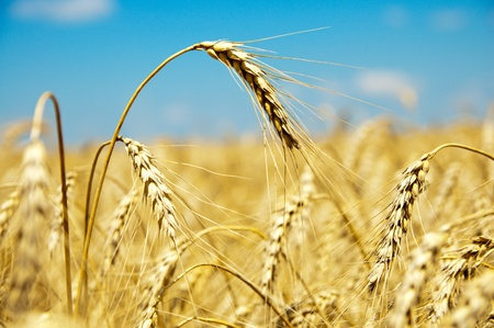 close up of ripe wheat ears against sky. soft focus Stock Photo - 8949204