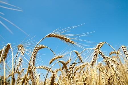 gold wheat on blue sky background Stock Photo - 8949206