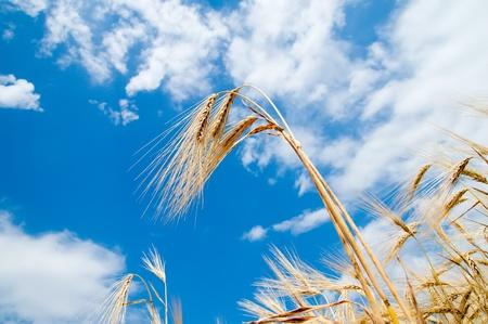 golden wheat on blue sky background photo