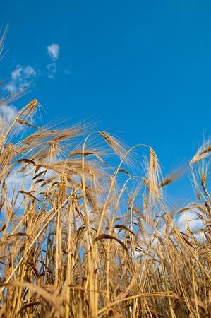 golden wheat on blue sky background Stock Photo - 8949207