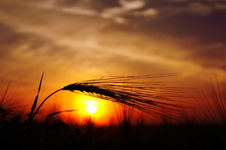 ears of ripe wheat on a background sun in the evening photo