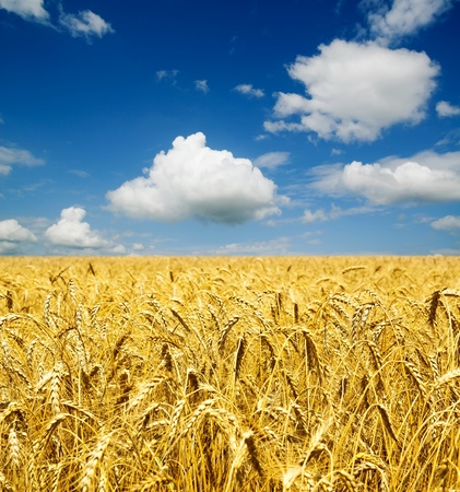 gold ears of wheat under sky. soft focus on field Stock Photo - 9086277