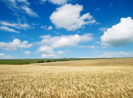 field of wheat under cloudy sky photo
