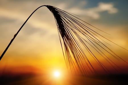 夕方に太陽を背景に熟した小麦の耳