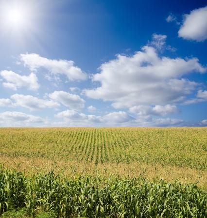 green maize field under blue sky with sun