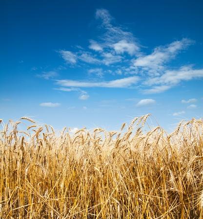 oro espigas de trigo bajo el cielo azul profundo Foto de archivo
