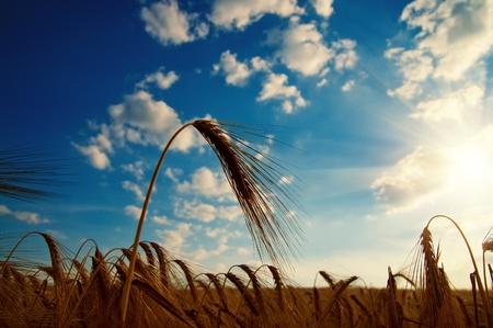 ears of ripe wheat with sun in the evening photo