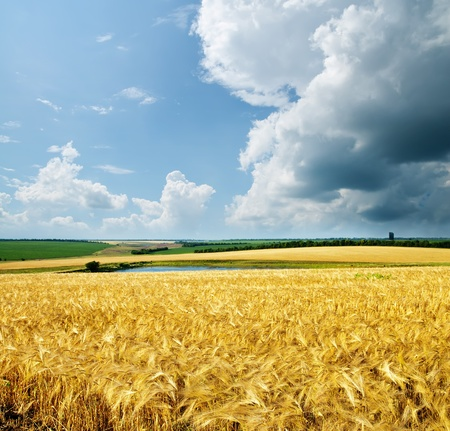gold wheat under cloudy sky photo