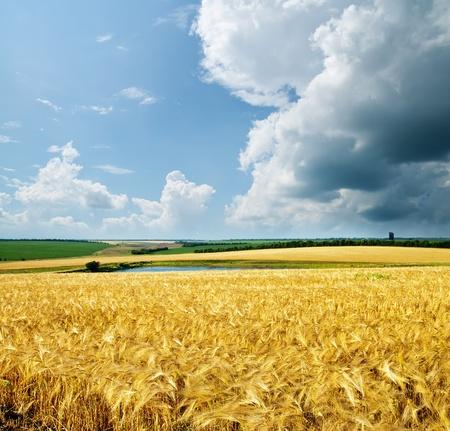 espigas: trigo oro bajo cielo nublado