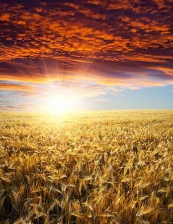 campo con oro espigas de trigo en la puesta de sol
