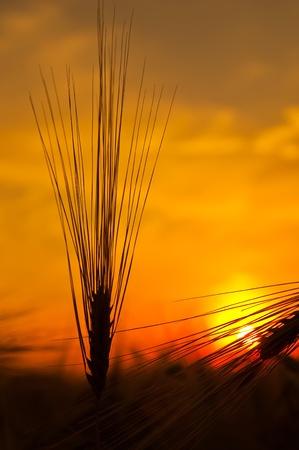 ears of ripe wheat on sunset photo