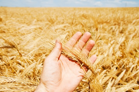 gold harvest in hand Stock Photo - 9184433