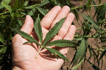 confiscated: verde foglia di marijuana in una mano Archivio Fotografico