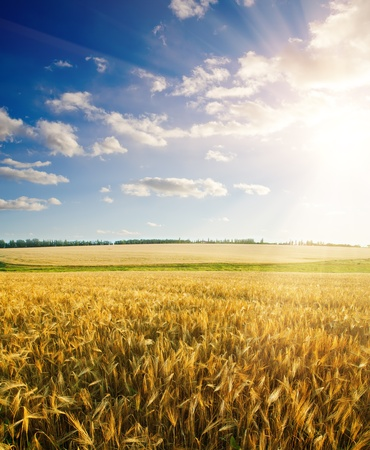 field of wheat under cloudy sky with sun photo