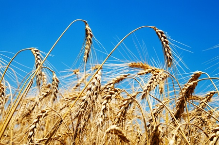 wheat crop: oro espigas de trigo bajo el cielo azul profundo Foto de archivo