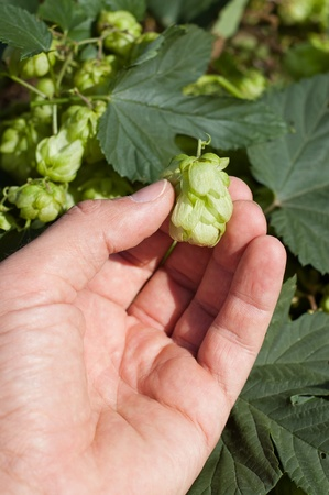 green hops in hand Stock Photo - 9340006