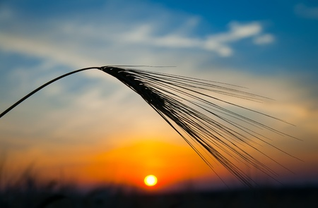 ear of ripe wheat with sun on background photo